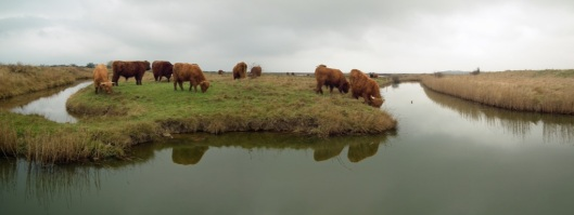 Cattle on Oare marshes